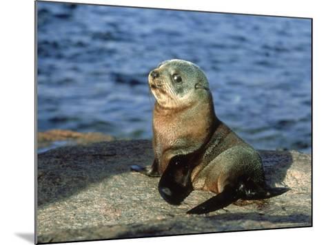 New Zealand Fur Seal, Arctocephalus Forsteri South Australia-Gerard Soury-Mounted Photographic Print