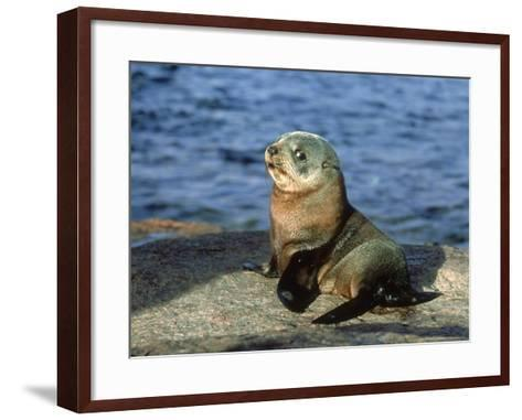 New Zealand Fur Seal, Arctocephalus Forsteri South Australia-Gerard Soury-Framed Art Print