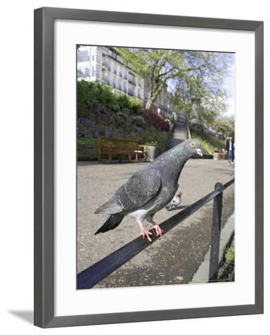 Feral Pigeon Perched on Railing in City Park, Scotland, UK-Mark Hamblin-Framed Art Print