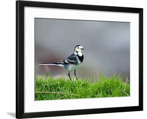 Pied Wagtail, Standing in Grass, Scotland-Elliot Neep-Framed Art Print