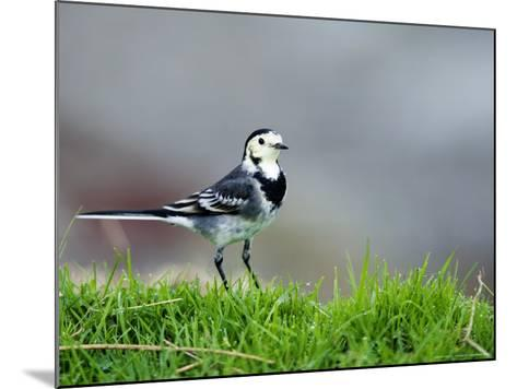 Pied Wagtail, Standing in Grass, Scotland-Elliot Neep-Mounted Photographic Print