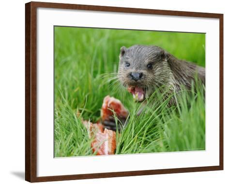 European Otter, Eating Salmon in Grass, Sussex, UK-Elliot Neep-Framed Art Print