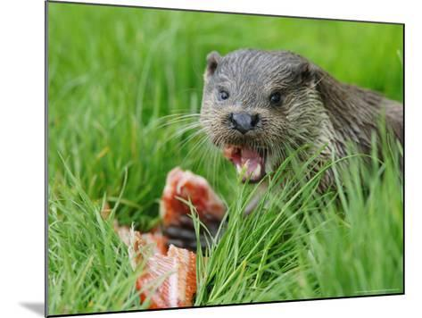 European Otter, Eating Salmon in Grass, Sussex, UK-Elliot Neep-Mounted Photographic Print