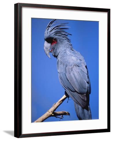 Black Palm Cockatoo, Crest Up, Zoo Animal-Stan Osolinski-Framed Art Print