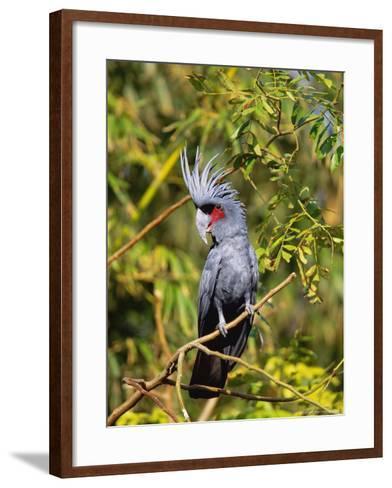 Black Palm Cockatoo, Crest Erect, Zoo Animal-Stan Osolinski-Framed Art Print
