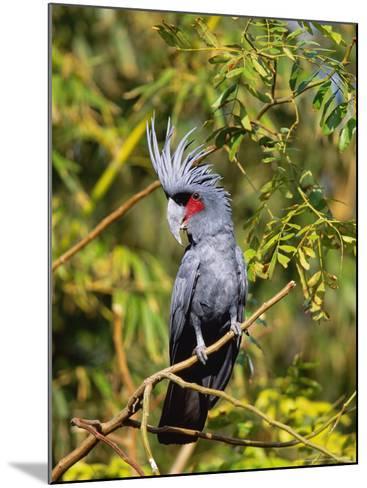 Black Palm Cockatoo, Crest Erect, Zoo Animal-Stan Osolinski-Mounted Photographic Print