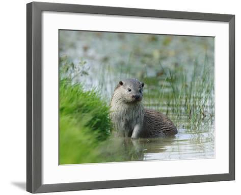 European Otter, Standing in Shallows, Sussex, UK-Elliot Neep-Framed Art Print