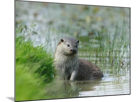 European Otter, Standing in Shallows, Sussex, UK-Elliot Neep-Mounted Photographic Print