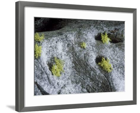 Wolf Lichen, Growing with Snow, USA-Stan Osolinski-Framed Art Print