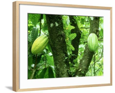 Cocoa, Pods in a Plantation, Tobago-Alastair Shay-Framed Art Print
