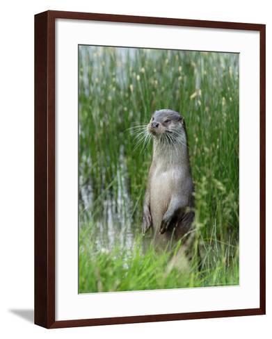 European Otter, Standing on Hind Legs at Waters Edge, Sussex, UK-Elliot Neep-Framed Art Print