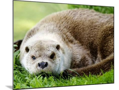 Otter, Close up of Female Otter in Grass, Earsham, UK-Elliot Neep-Mounted Photographic Print