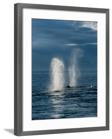 Humpback Whales, Feeding at Surface, AK, USA-Gerard Soury-Framed Art Print
