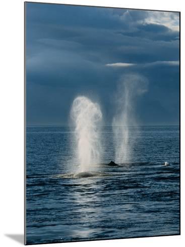 Humpback Whales, Feeding at Surface, AK, USA-Gerard Soury-Mounted Photographic Print