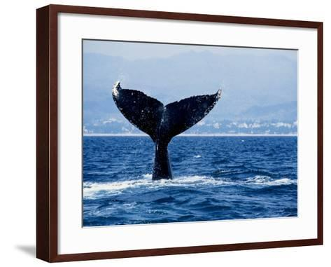 Humpback Whale, Raising Flukes-Gerard Soury-Framed Art Print