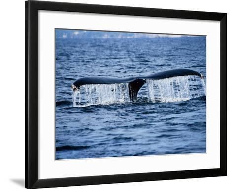 Humpback Whale, Raising Flukes, Mexico-Gerard Soury-Framed Art Print