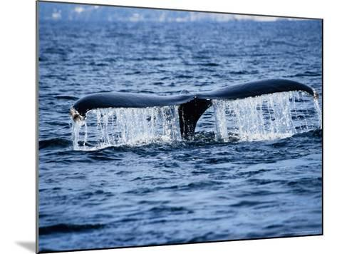 Humpback Whale, Raising Flukes, Mexico-Gerard Soury-Mounted Photographic Print