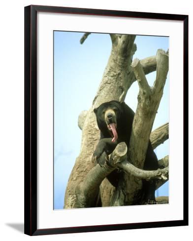 Malayan Sun Bear, Yawning, Zoo Animal-Stan Osolinski-Framed Art Print