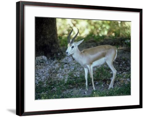 Goitered Gazelle, Male, Zoo Animal-Stan Osolinski-Framed Art Print