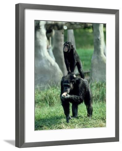 Chimpanzee, Baby Stands on Mothers Back, Zoo Animal-Stan Osolinski-Framed Art Print
