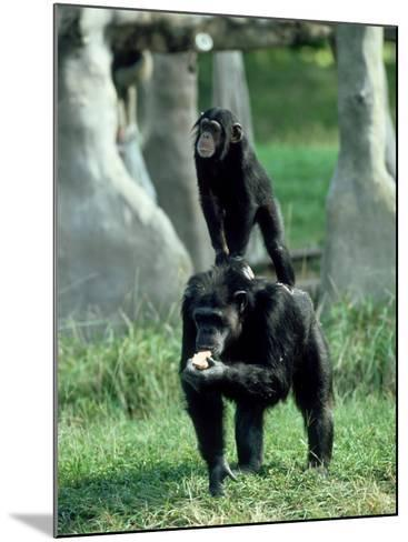 Chimpanzee, Baby Stands on Mothers Back, Zoo Animal-Stan Osolinski-Mounted Photographic Print