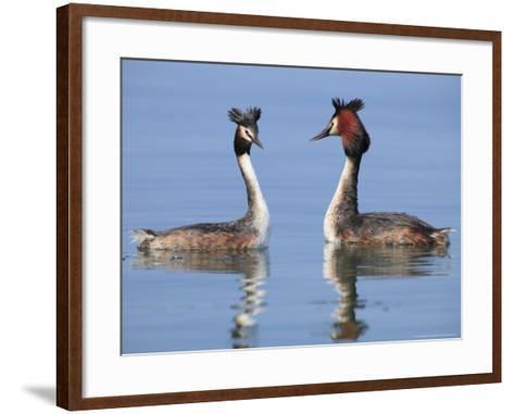 Great-Crested Grebes, Pair Courting, Lake Geneva, Switzerland-Elliot Neep-Framed Art Print