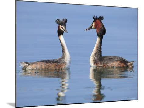 Great-Crested Grebes, Pair Courting, Lake Geneva, Switzerland-Elliot Neep-Mounted Photographic Print
