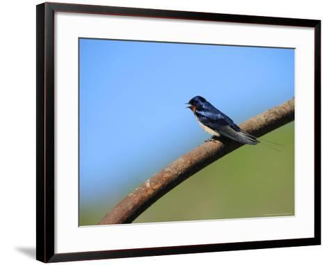 Swallow, Perched on Rusty Metal Pipe, Pembrokeshire, UK-Elliot Neep-Framed Art Print