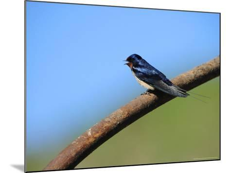 Swallow, Perched on Rusty Metal Pipe, Pembrokeshire, UK-Elliot Neep-Mounted Photographic Print