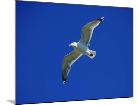 Lesser Black-Backed Gull in Flight, Pembrokeshire, UK-Elliot Neep-Mounted Photographic Print