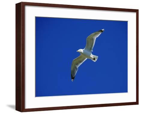 Lesser Black-Backed Gull in Flight, Pembrokeshire, UK-Elliot Neep-Framed Art Print