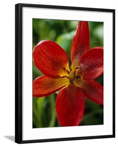"""Tulipa Hageri """"Splendens""""-Chris Burrows-Framed Art Print"""