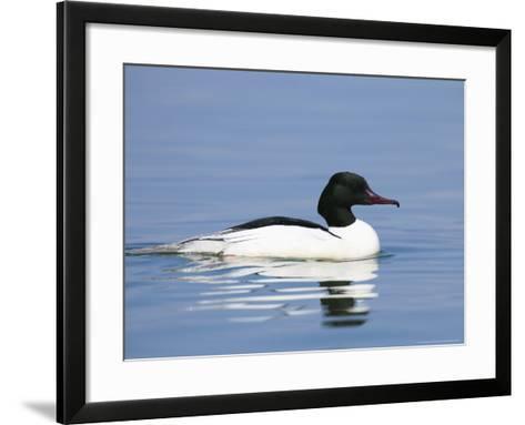 Goosander, Male on Water, Lake Geneva, Switzerland-Elliot Neep-Framed Art Print