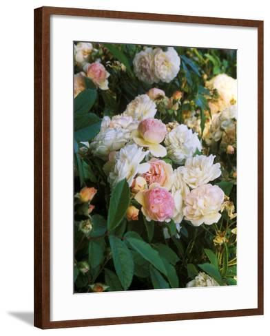 Rambling Shrub Rose-Philippe Bonduel-Framed Art Print