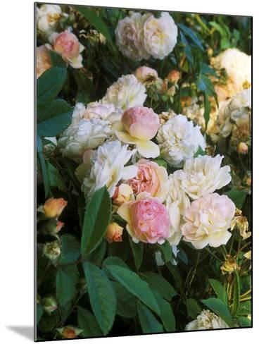 Rambling Shrub Rose-Philippe Bonduel-Mounted Photographic Print