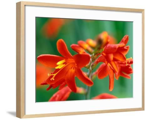 "Crocosmia, ""Red Knight,"" Close-up of Red Flowers-Lynn Keddie-Framed Art Print"
