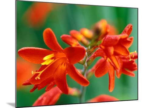 "Crocosmia, ""Red Knight,"" Close-up of Red Flowers-Lynn Keddie-Mounted Photographic Print"