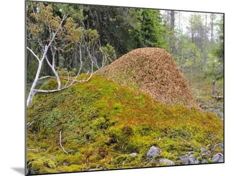 Ant Hill, Kuusamo Area, Northeast Finland-Philippe Henry-Mounted Photographic Print