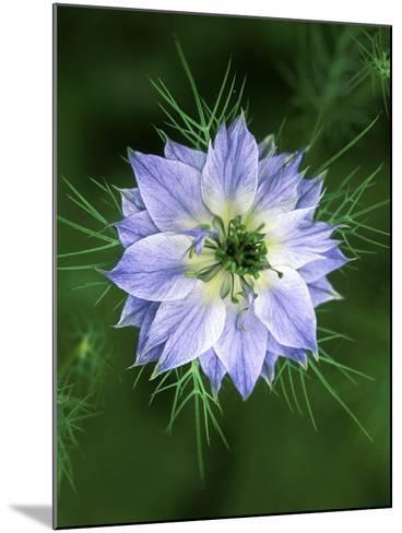 Nigella (Love in the Mist), Close-up of Blue Flower Head-Lynn Keddie-Mounted Photographic Print