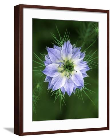 Nigella (Love in the Mist), Close-up of Blue Flower Head-Lynn Keddie-Framed Art Print
