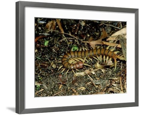 Giant Centipede, New Zealand-Robin Bush-Framed Art Print