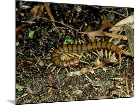 Giant Centipede, New Zealand-Robin Bush-Mounted Photographic Print