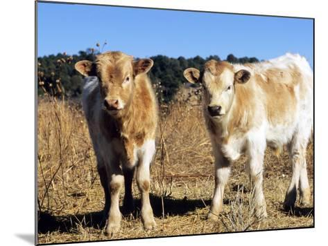 Texas Longhorn, Calves, Colorado, USA-Philippe Henry-Mounted Photographic Print