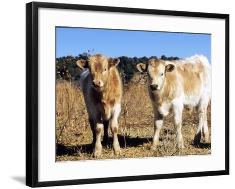 Texas Longhorn, Calves, Colorado, USA-Philippe Henry-Framed Art Print