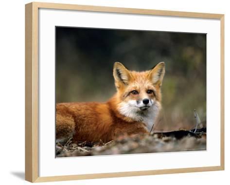 Red Fox, Lying, Quebec, Canada-Philippe Henry-Framed Art Print