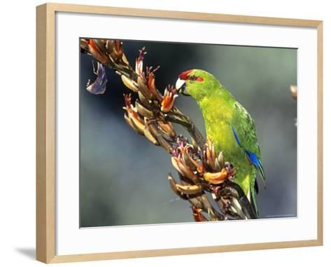 Red-Crowned Parakeet, Cyanoramphus Novaezelandiae Feeding on New Zealand Flax, New Zealand-Robin Bush-Framed Art Print