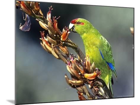 Red-Crowned Parakeet, Cyanoramphus Novaezelandiae Feeding on New Zealand Flax, New Zealand-Robin Bush-Mounted Photographic Print