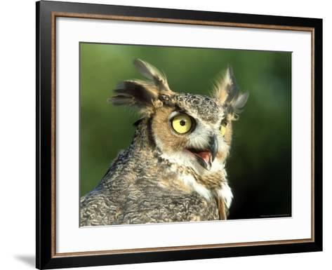 Great Horned Owl, Bubo Viginianus Close up Portrait, Calling, USA-Mark Hamblin-Framed Art Print