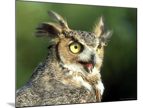 Great Horned Owl, Bubo Viginianus Close up Portrait, Calling, USA-Mark Hamblin-Mounted Photographic Print