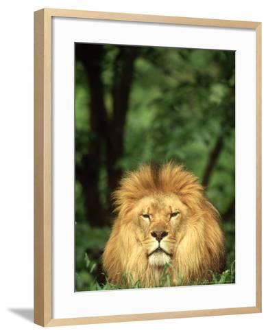 Lion, Panthera Leo Adult Male-Adam Jones-Framed Art Print